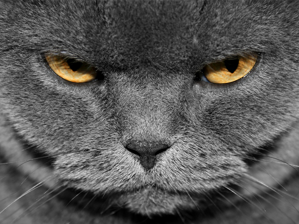 Animal Angry Grey Cat For 312263 Wallpaper wallpaper