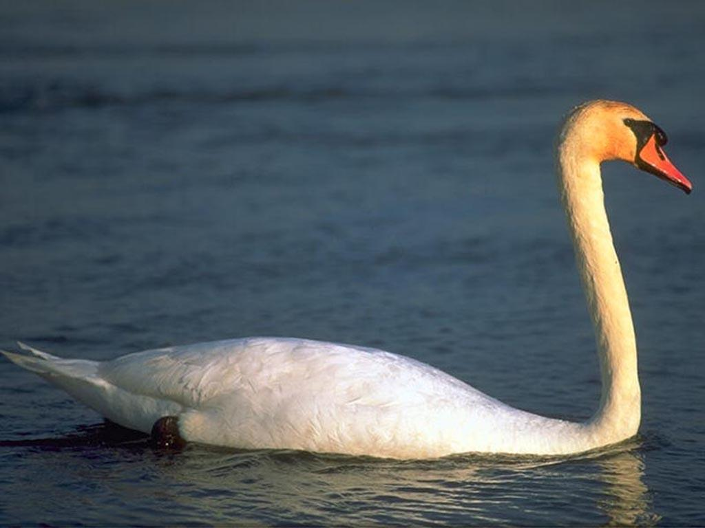African Animals And Of Swan For Windows Cisnes 57003 Wallpaper wallpaper