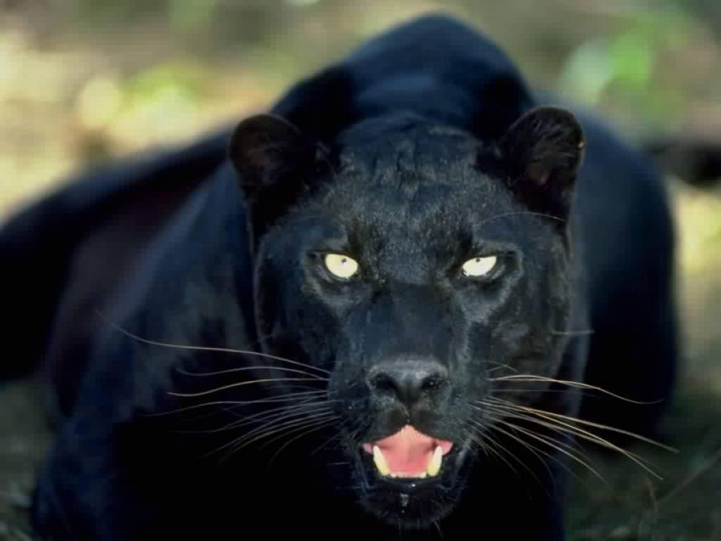 Animal Black Jaguar Imagesforfree Org 46133 Wallpaper wallpaper