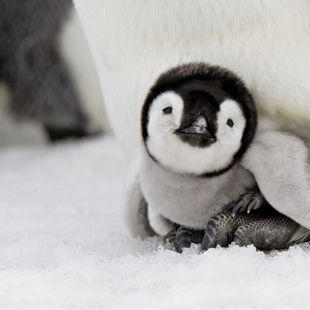 Baby Animals Penguin Ipad Themes And For 188521 Wallpaper