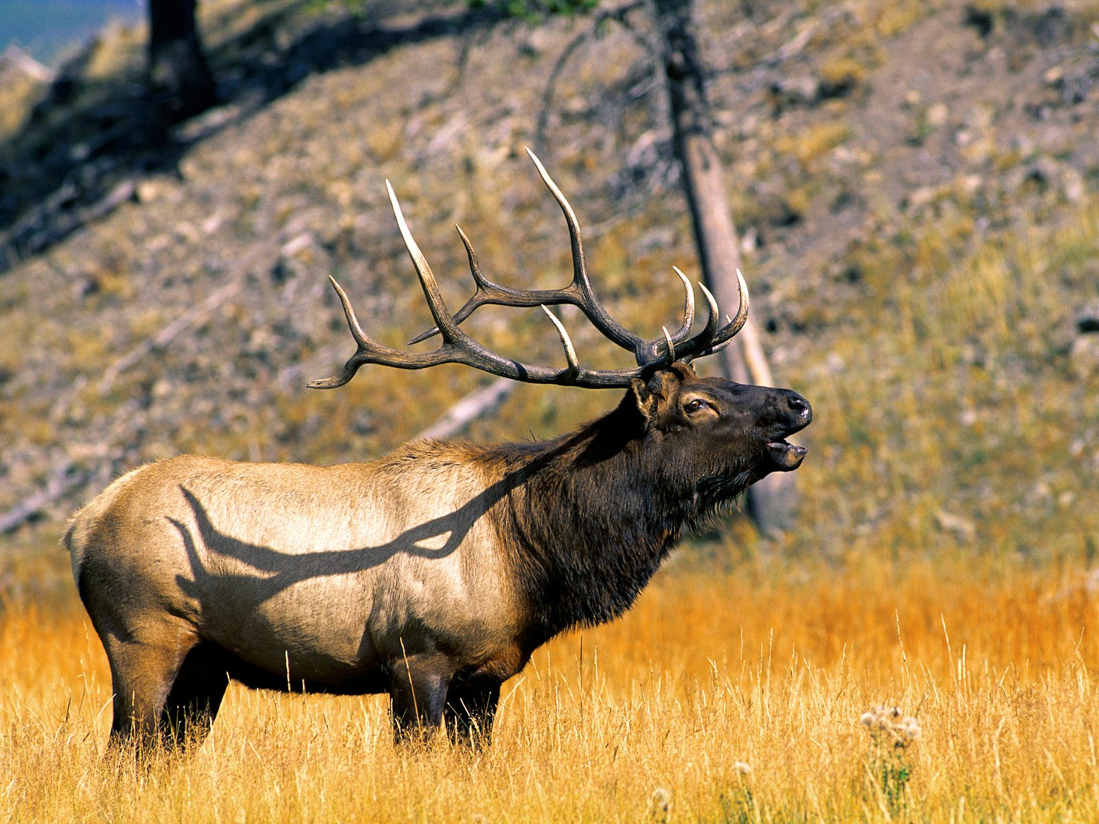 Wild Animals National Park Wyoming Free Image With Elk 401373 Wallpaper wallpaper