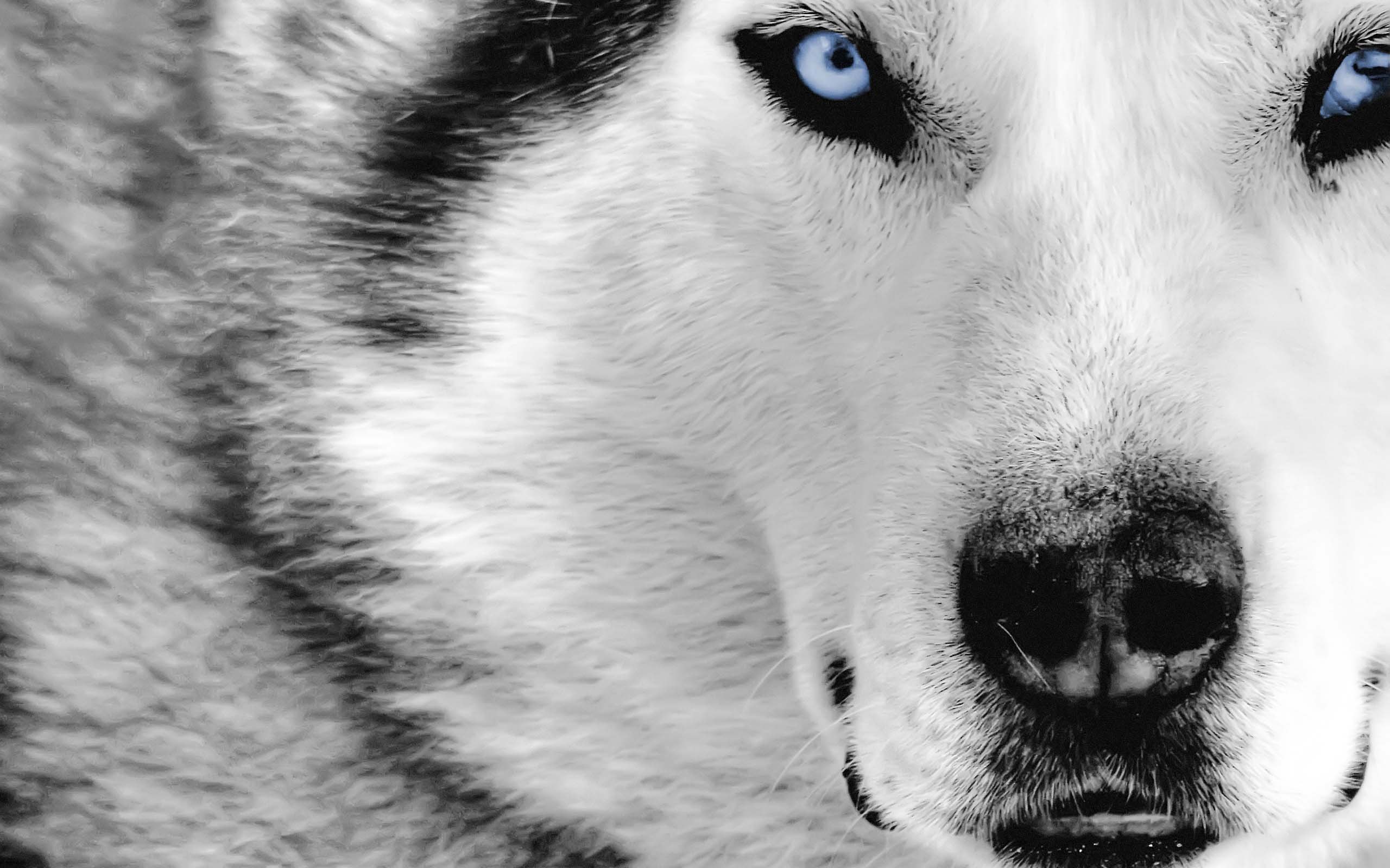 Animal The Best Ever White Wolf Hd 257523 Wallpaper wallpaper