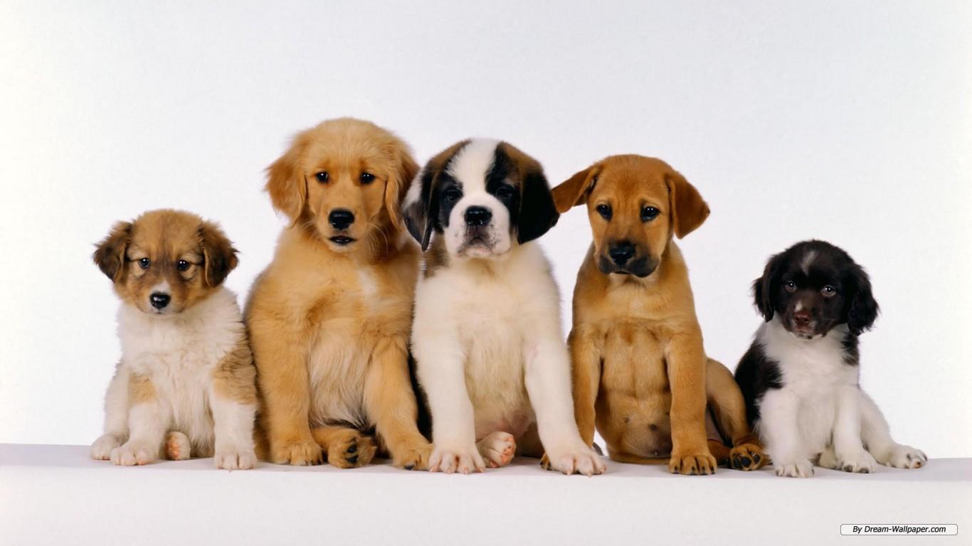 Animal Free Terriers Labrador Widescreen 142322 Wallpaper