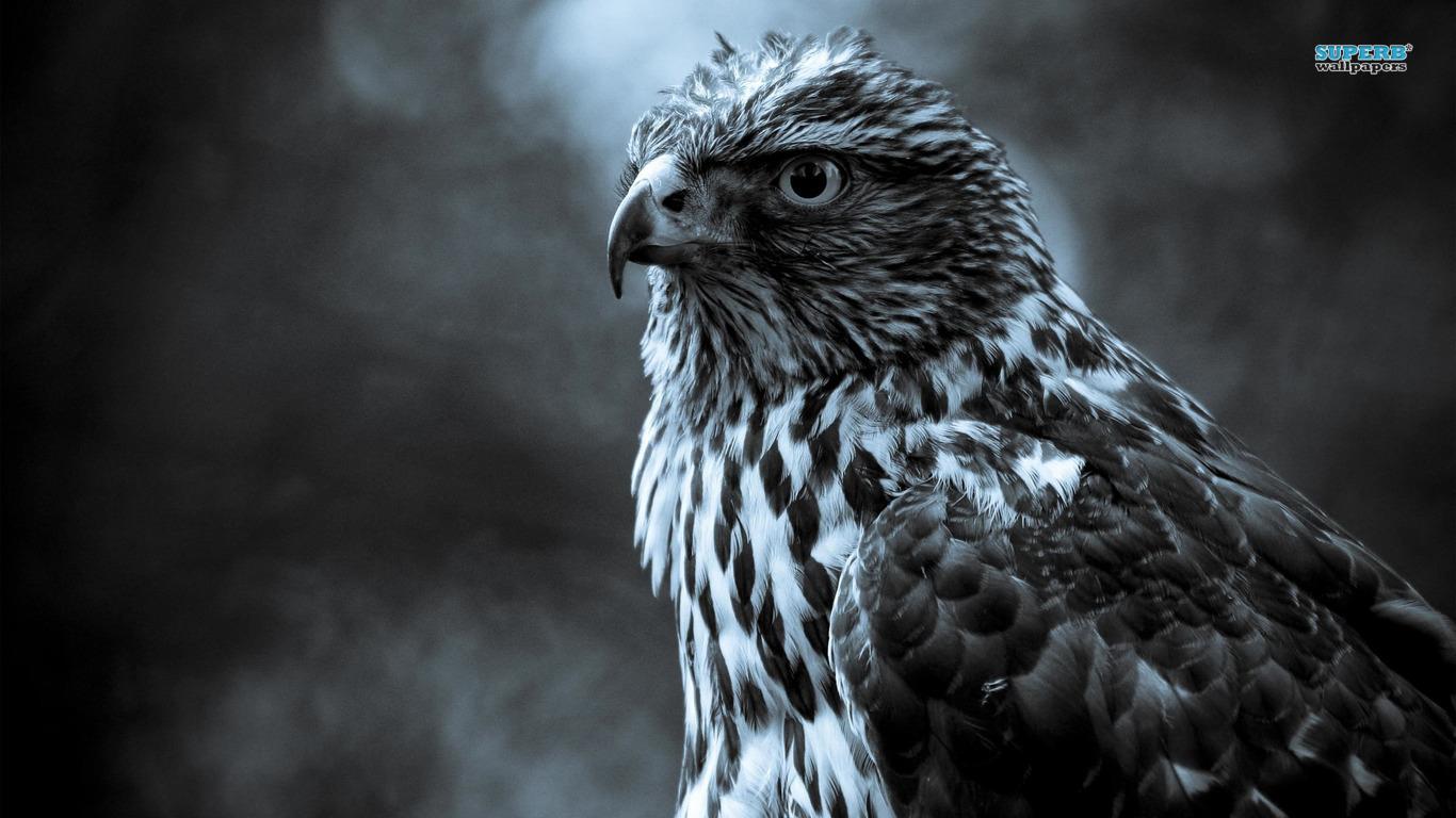 Animal Hawk 258956 Wallpaper wallpaper