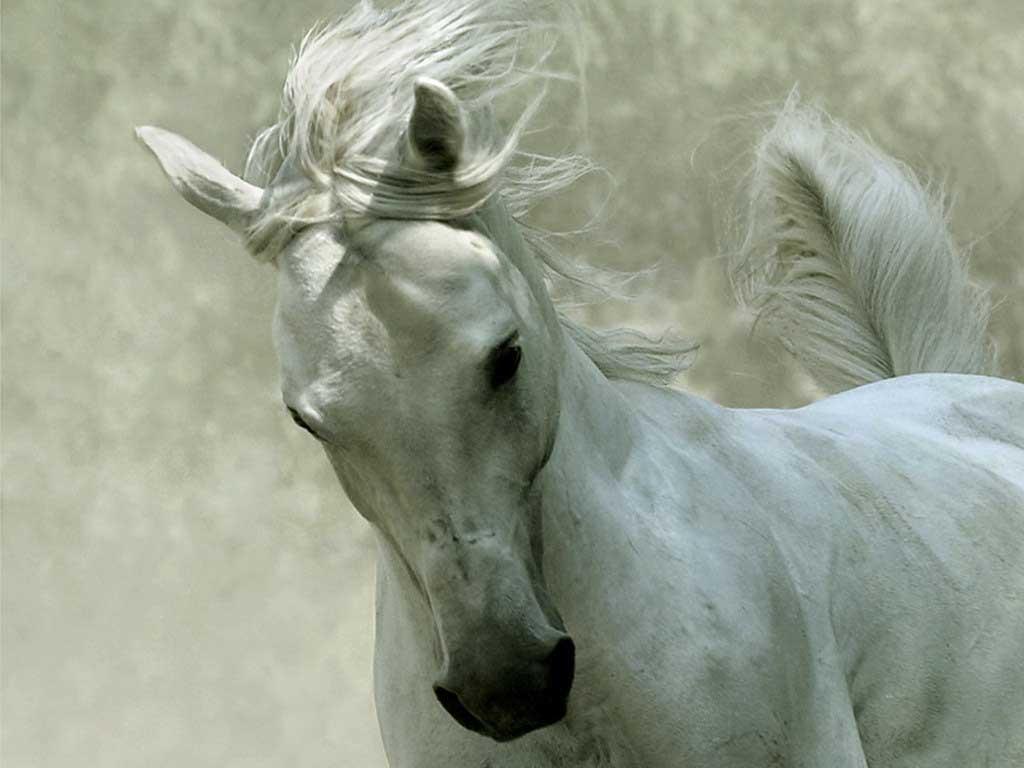Animals Hd Horses For Desktop 70493 Wallpaper wallpaper