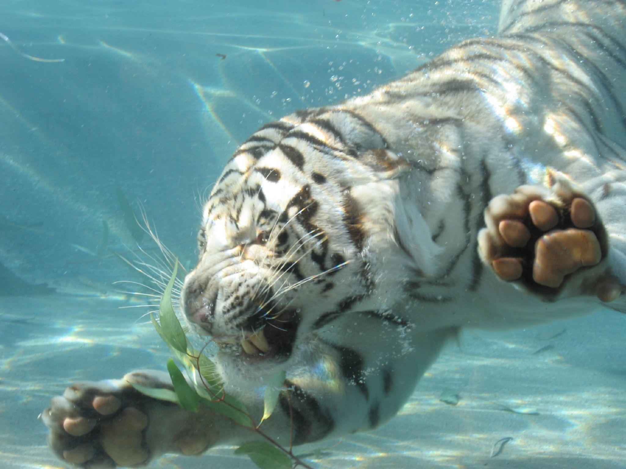 White tiger swimming wallpaper