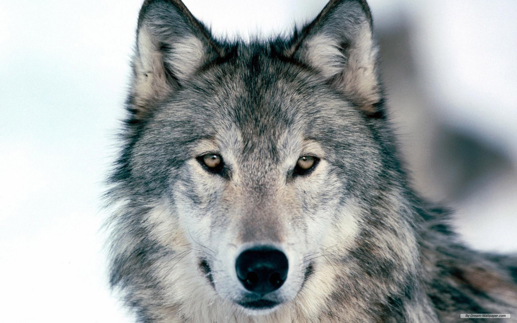 animal print free wolf index 367790 wallpaper wallpaper - Animal Pictures To Print Free