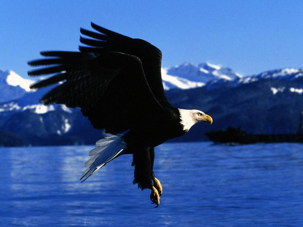 Wild Animals Eagle Wildlife Pictures Eagles Are Large 78514 Wallpaper wallpaper