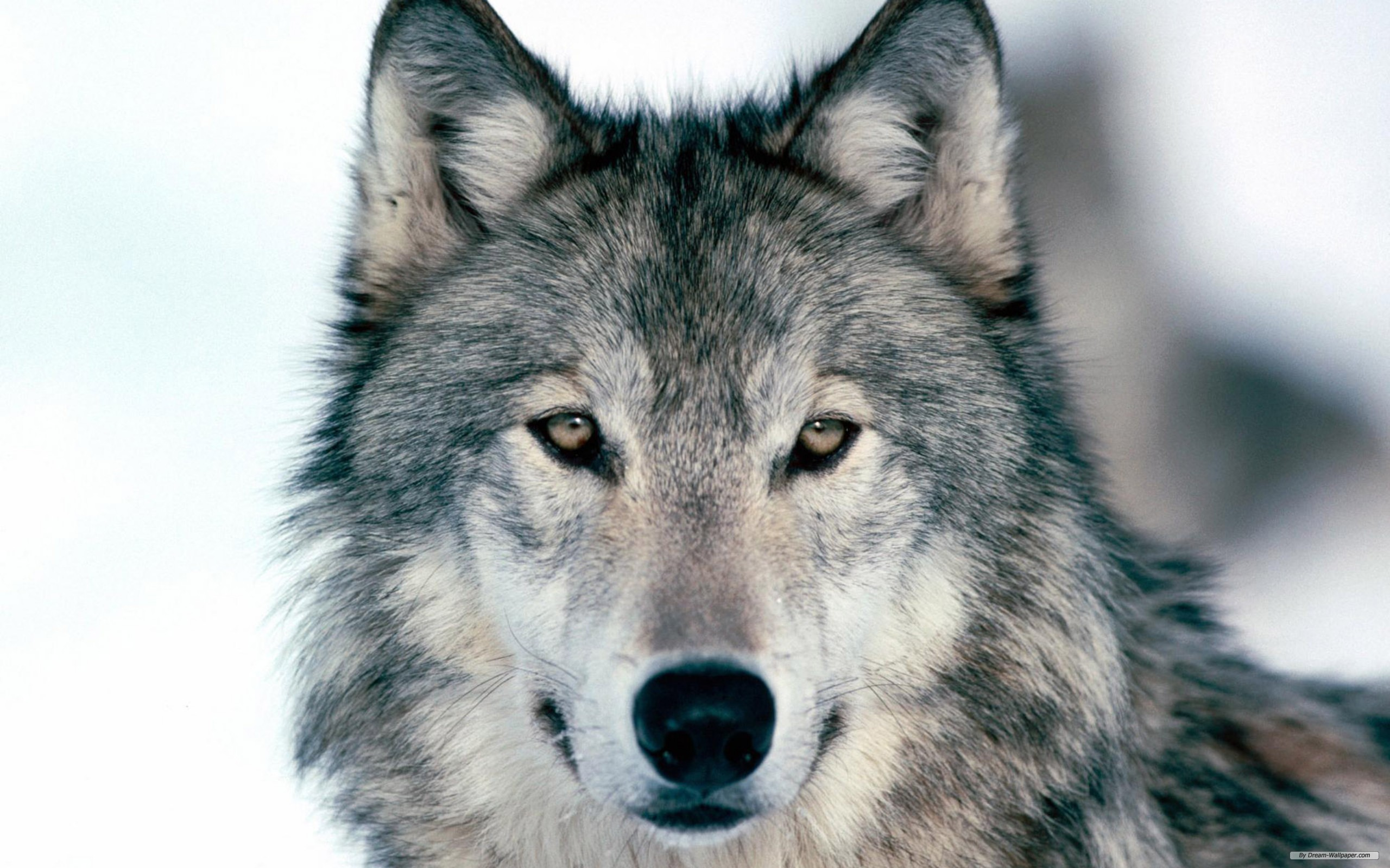 Animal Free Wolf Index 643987 Wallpaper wallpaper