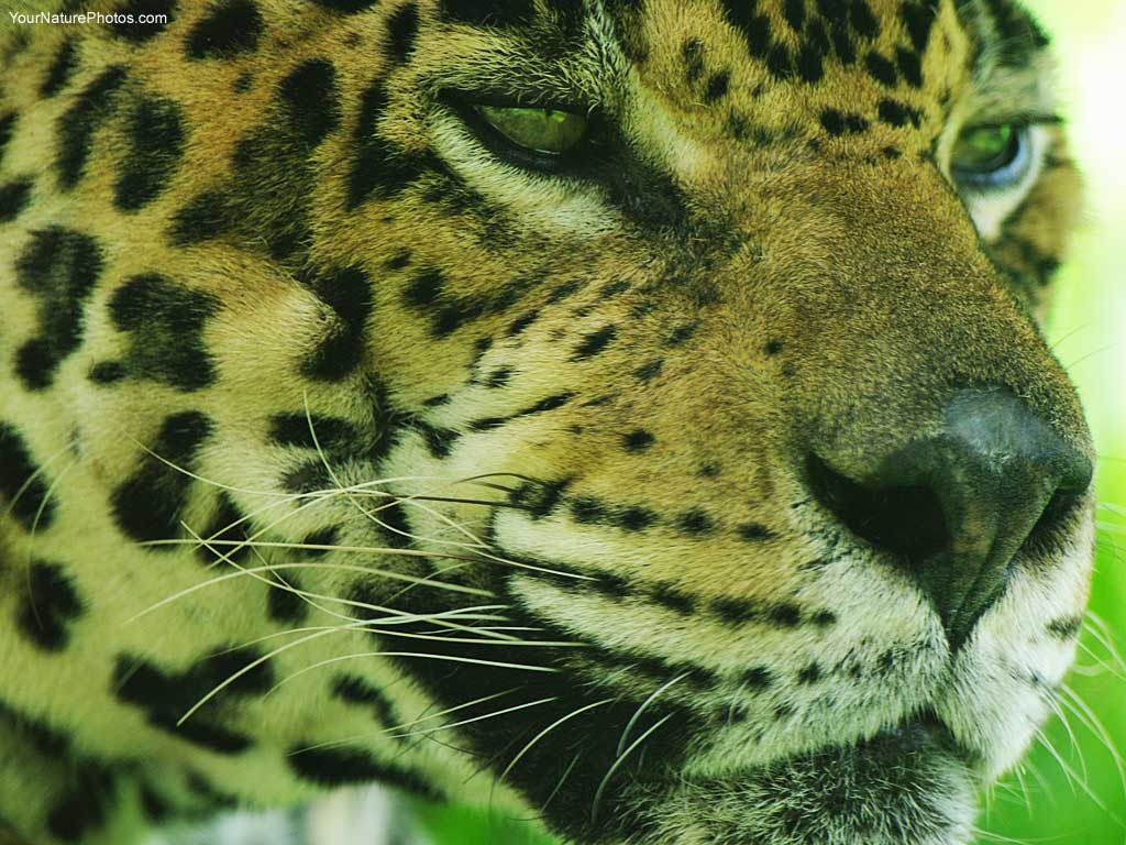 Animal Jungle You Are Viewing The Animals Named Jaguar Face It Has Been 128068 Wallpaper wallpaper