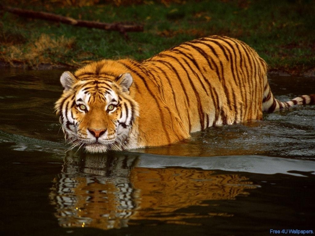 African Animals Tiger Wild Fanpop 175291 Wallpaper wallpaper