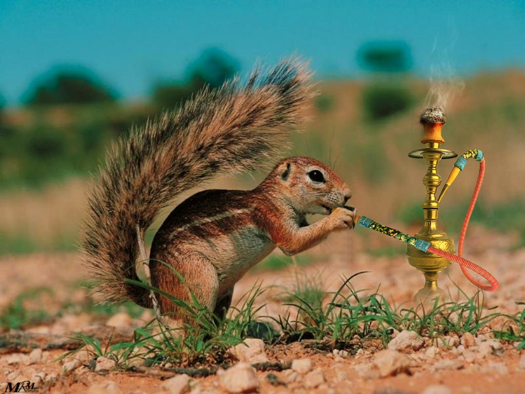 Funny cartoon squirrel shisha here size original 156643 - Funny squirrel backgrounds ...