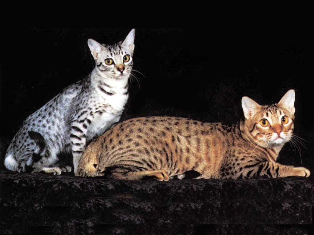 African Animals Cats Gatos 290515 Wallpaper Wallpaper