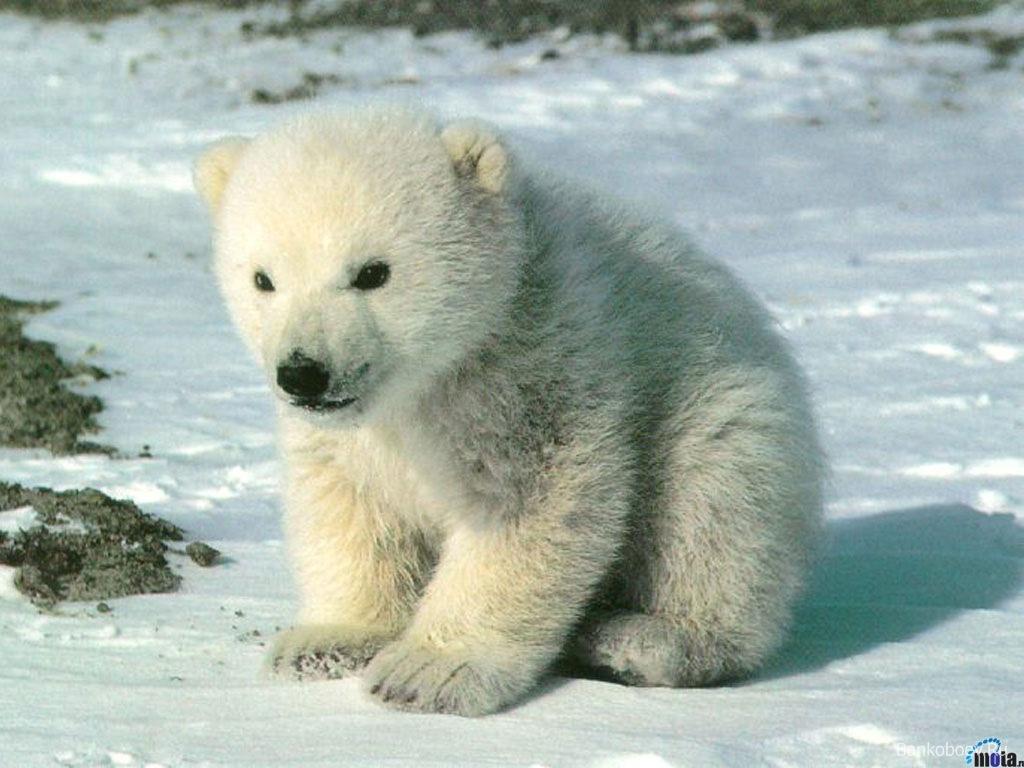 baby animals polar bear kids free new 345569 wallpaper wallpaper - Animals Pictures For Kids Free Download