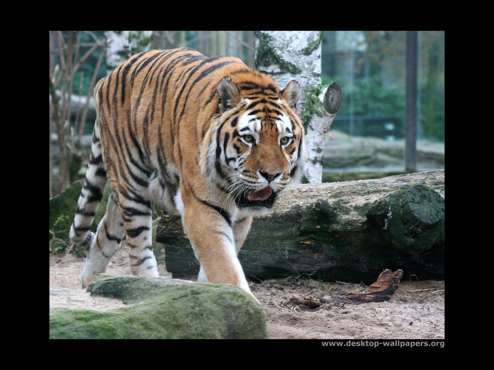Wild Animals Tigers On Desktop Other Siberian Tiger Walk 357877 Wallpaper wallpaper