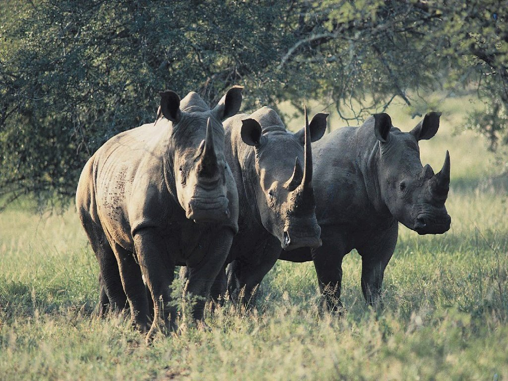 African Animals Of Rhinos And Wildlife Computer 235134 Wallpaper