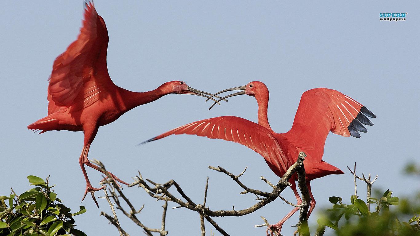 Scarlet Ibis Animal 311089 Wallpaper wallpaper