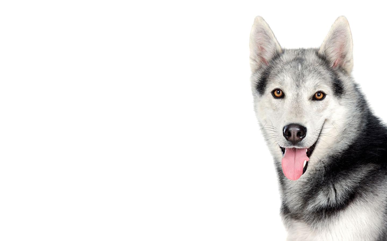 Siberian Husky k Wallpaper HD Wallpapers