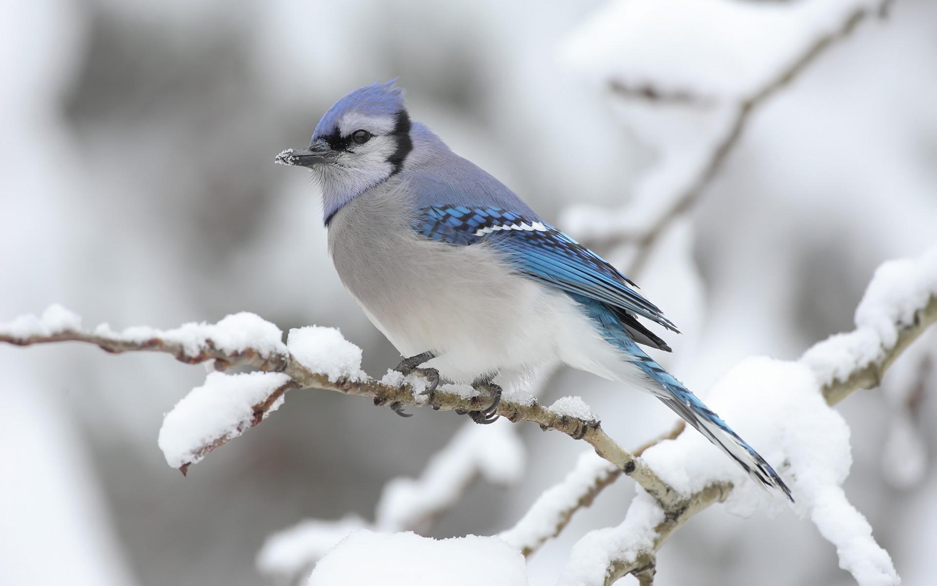 Blue Bird on Tree Widescreen HD Wallpaper | Blue birds | Pinterest ...