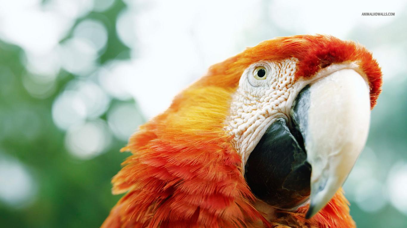 Scarlet Macaw 248858 Wallpaper wallpaper download
