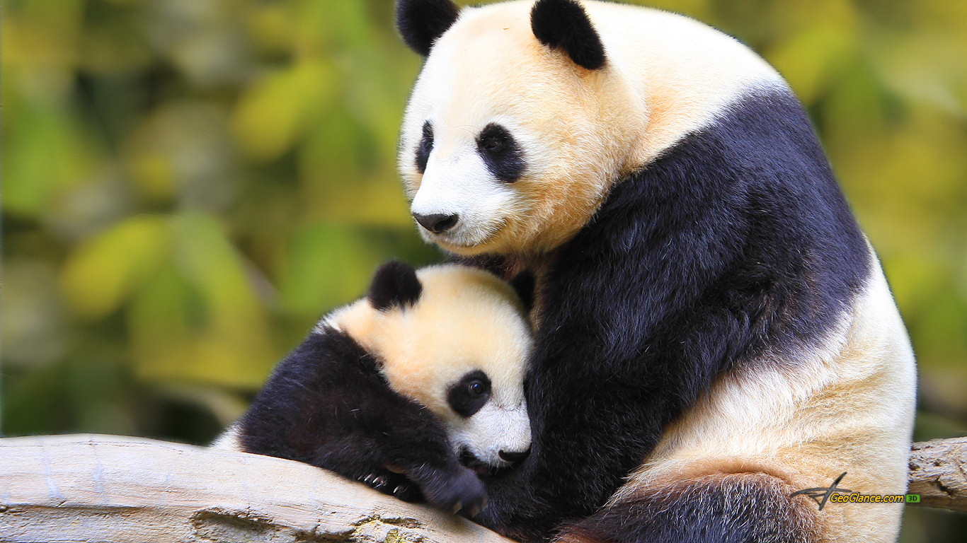 Animal Mother And Baby Panda Bear Nature Cute Forest 375233 Wallpaper wallpaper