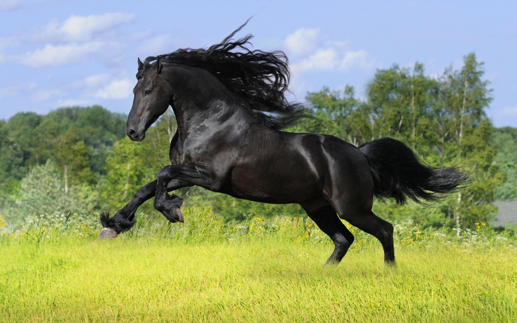wild animals black horse x desktop 572088 wallpaper wallpaper