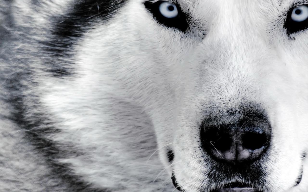 Animals White Wolf 287826 Wallpaper wallpaper