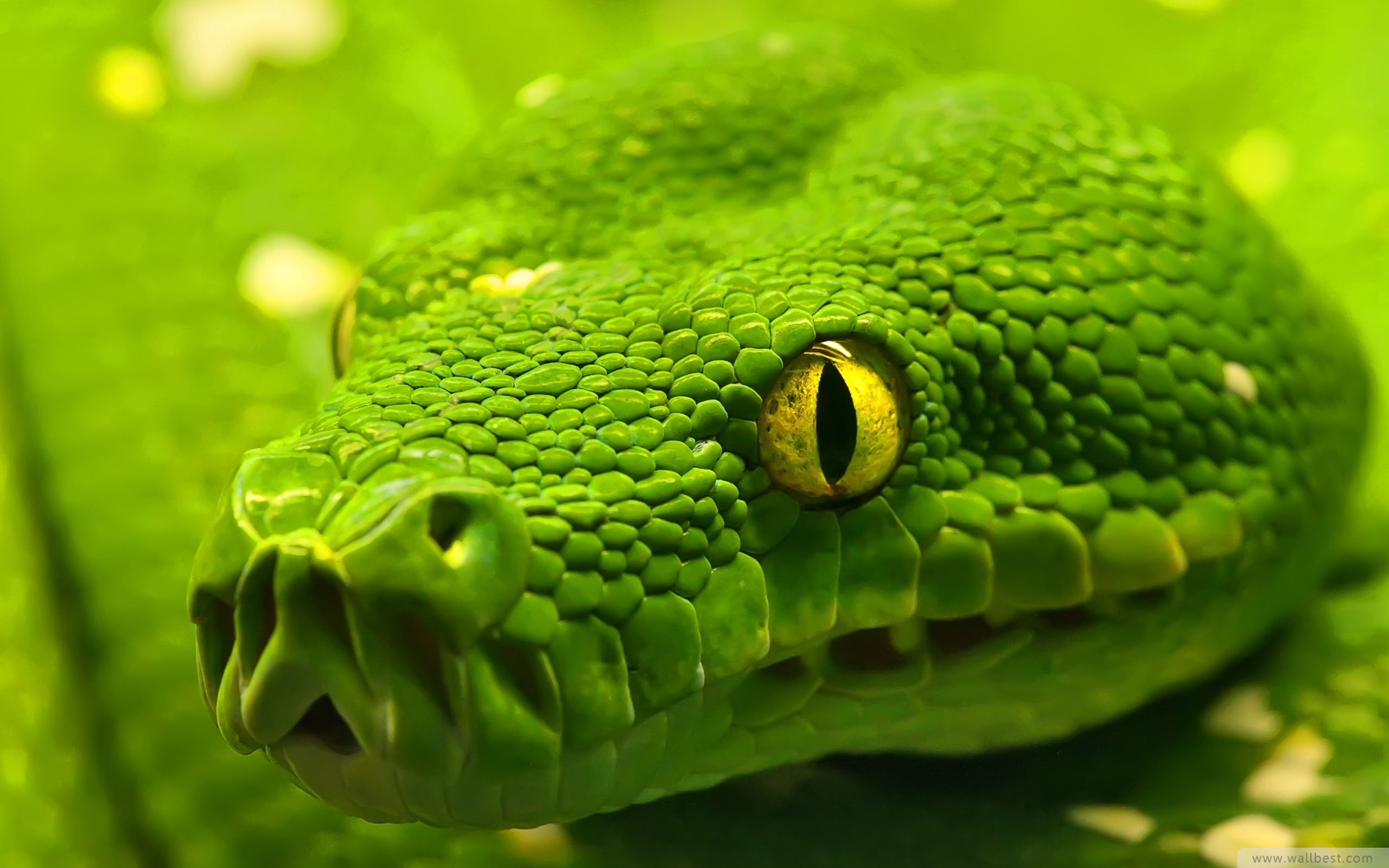 Animal Hd Green Anaconda 1589307 Wallpaper wallpaper