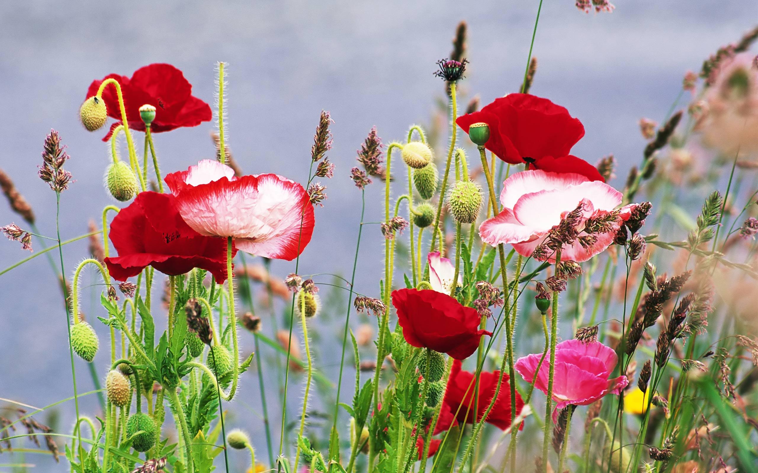 fresh life flowers poppy 542538 wallpaper wallpaper