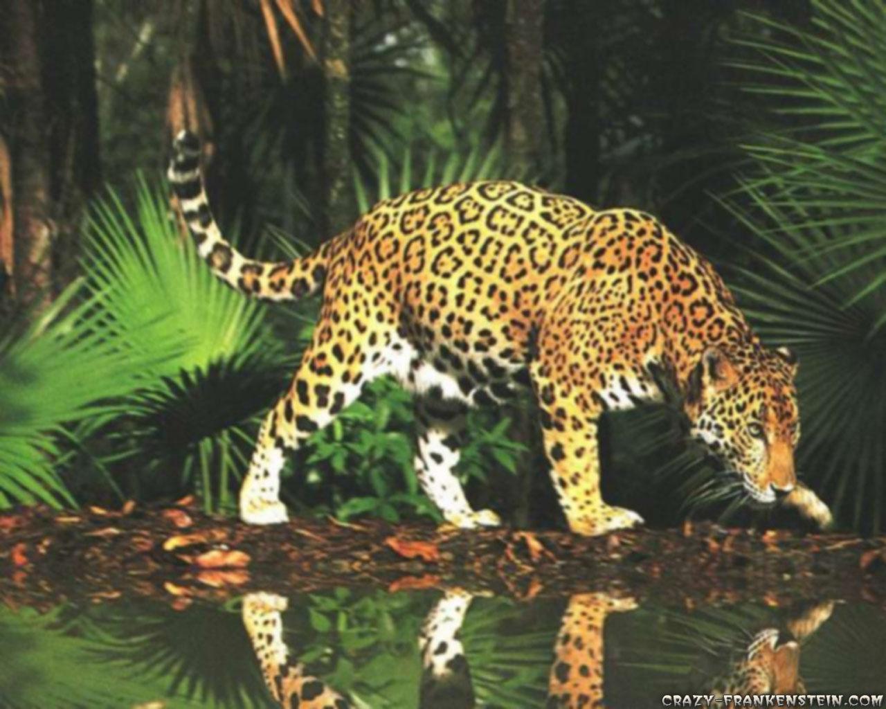 Animal Leopard Crazy Frankenstein 241665 Wallpaper wallpaper
