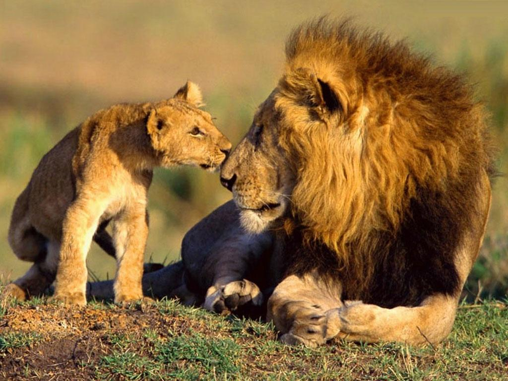 Baby Animals Animal African Wildlife Lions Photography Are 130381 Wallpaper