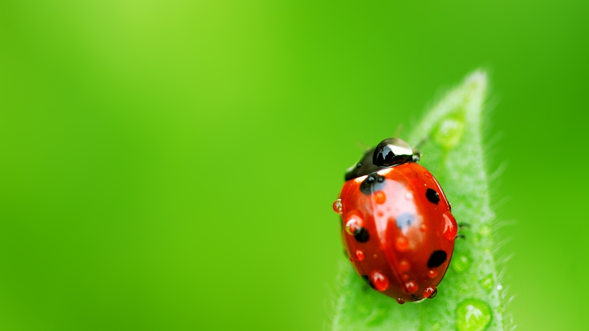Abstract Water Drops Insects God Ladybird Rosa Hd 551305 Wallpaper wallpaper