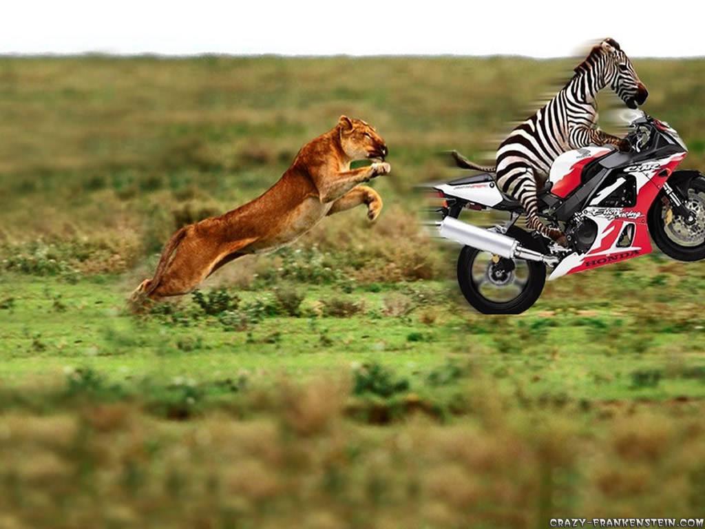 Animal Zebra On Motorcycle Funny Best 193191 Wallpaper
