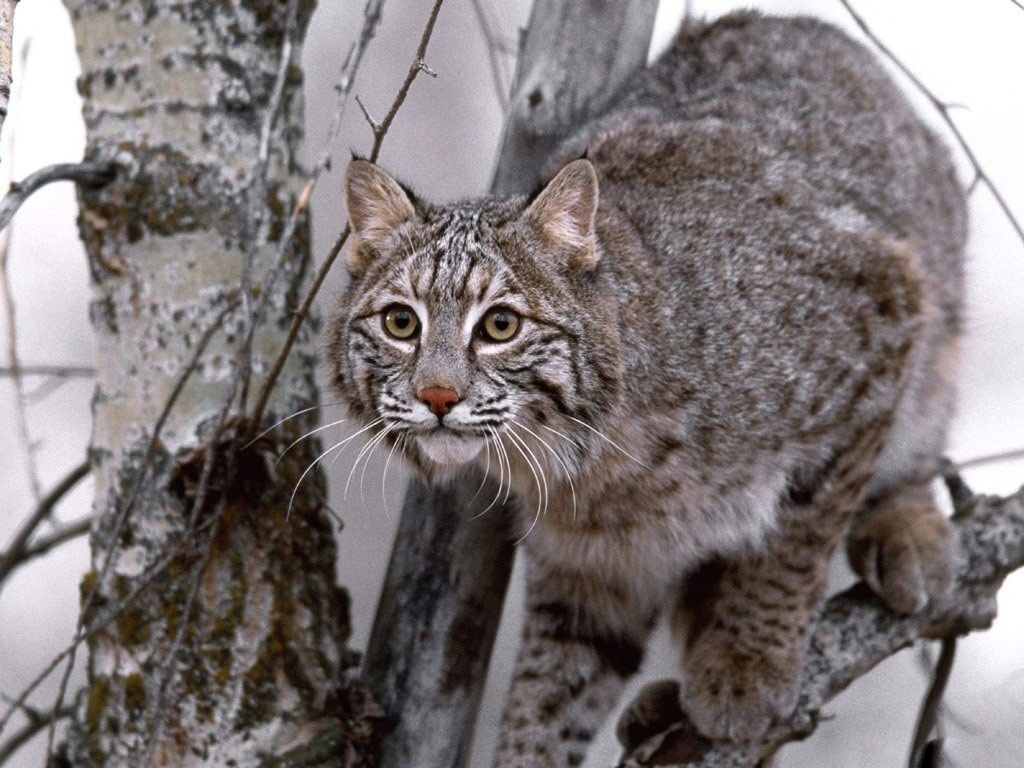 Animal Fresh Life Cats Eurasian Lynx Cat 196832 Wallpaper wallpaper