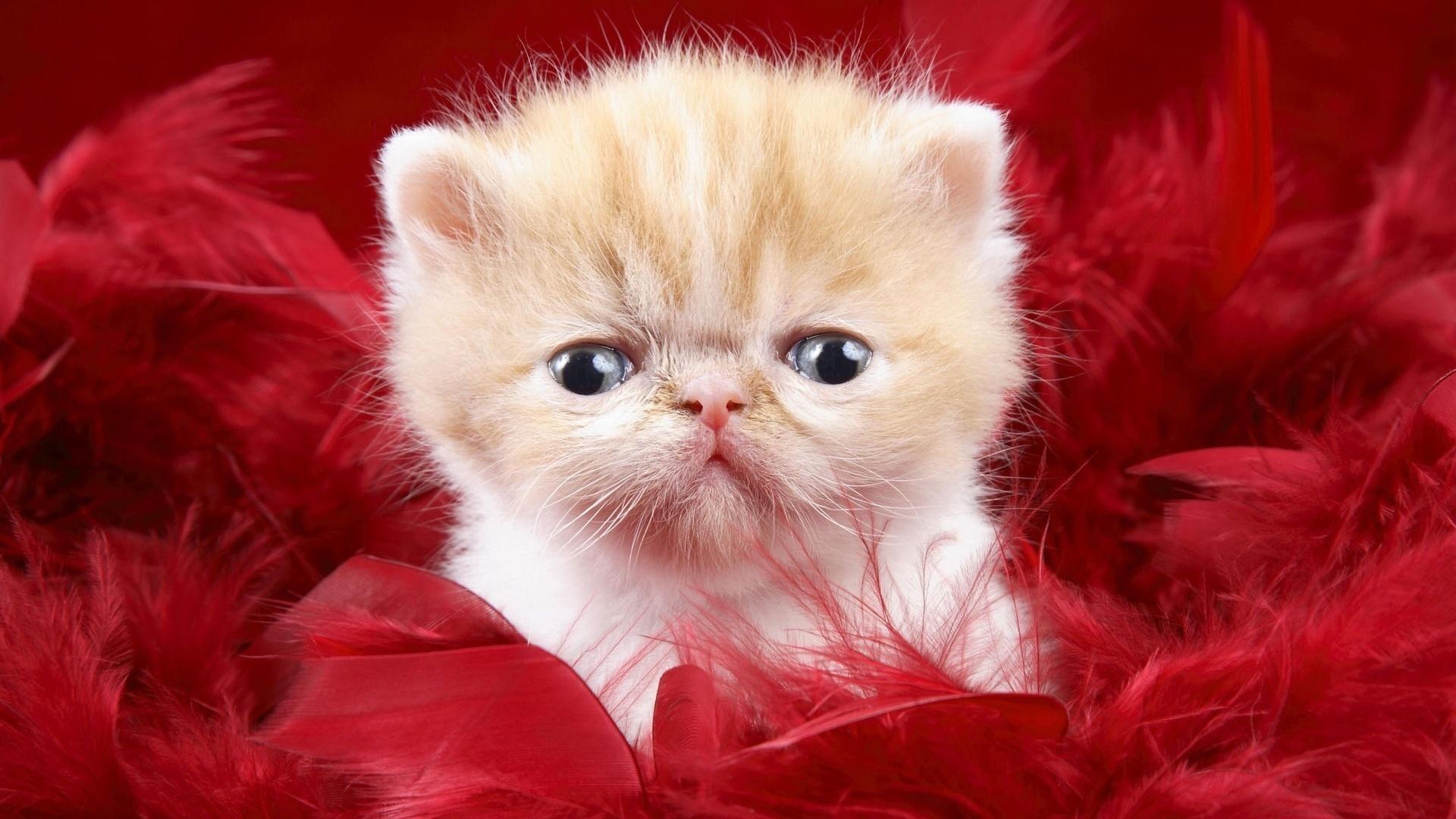 Jordan Carver Best Cats Fluffy Hd Kitty Walls Kitten 526164 Wallpaper wallpaper