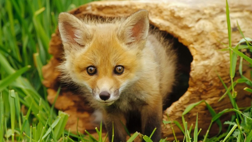 Music Anime Little Fox From A Twig Click To View 137600 Wallpaper wallpaper