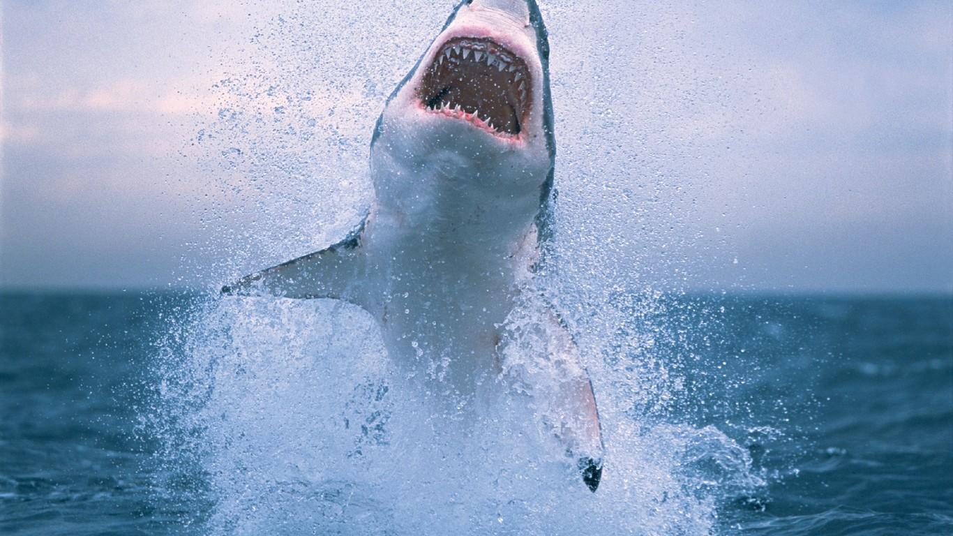 Sharks Animal Great White Shark 306852 Wallpaper wallpaper