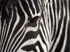 Animal Skin Zebra Backgrounds P O 3939414 Wallpaper wallpaper
