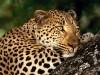 Animal Cats Fresh Desktop Life Big Leopard 420090 Wallpaper wallpaper
