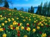 Field of Tulips Germany wallpaper