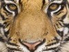 Wild Animals Tiger Head 544607 Wallpaper wallpaper