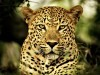 Wild Animals Cats X Stuffkit 1606814 Wallpaper wallpaper