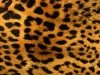 Animal Print Furry Leopard Free Hd 991020 Wallpaper wallpaper