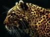 Wild Animals Cat Leopard Free Funny P Os 2209509 Wallpaper wallpaper