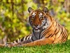 Wild Animals Alayx Tigers Cats White Tiger P Os Bengal 405188 Wallpaper wallpaper