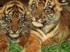 Baby Animals Home Photography Tigers Ipad 478129 Wallpaper wallpaper
