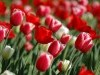 Red Abstract Tulips In Spring Hd Backgrounds 245744 Wallpaper wallpaper
