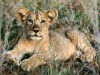 African Animals Hd Cute Little Lion 603087 Wallpaper wallpaper